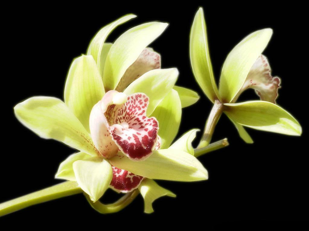 Орхидея цветок вампир или нет